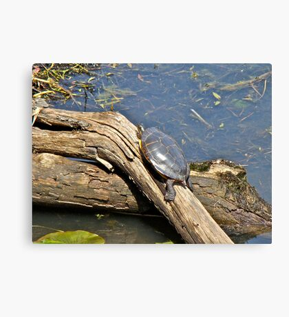 Grabbing a Bit of Sunshine - Painted Turtle Canvas Print