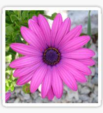 Violet Pink Osteospermum Flower Daisy Sticker