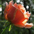 Rosebud and Raindrops! by Pat Yager