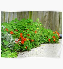 The Beauty Of Nasturtiums Poster