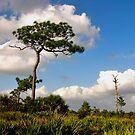 Sand Pine Portrait. Catfish Creek. Lake Wales Ridge. by chris kusik