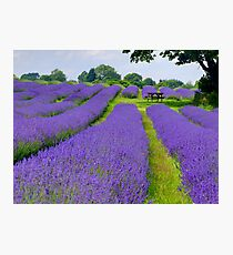 Mayfield Lavender Fields 1 Photographic Print