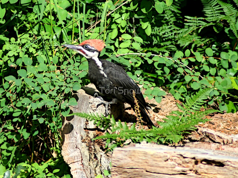 Baby Pileated Woodpecker by Tori Snow