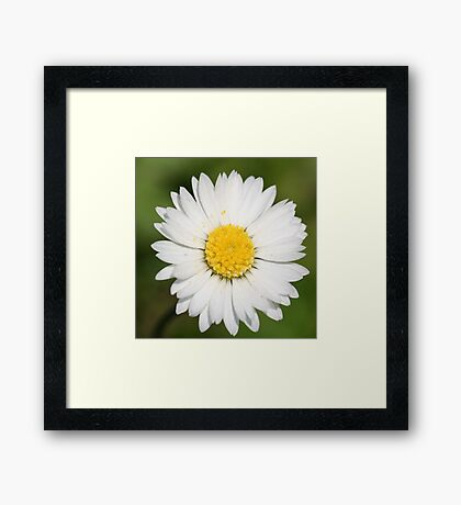 Closeup Of A Beautiful Yellow And Wild White Daisy Flower Framed Print