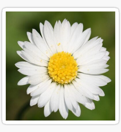 Closeup Of A Beautiful Yellow And Wild White Daisy Flower Sticker