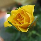 Yellow Rose by Coleen Gudbranson