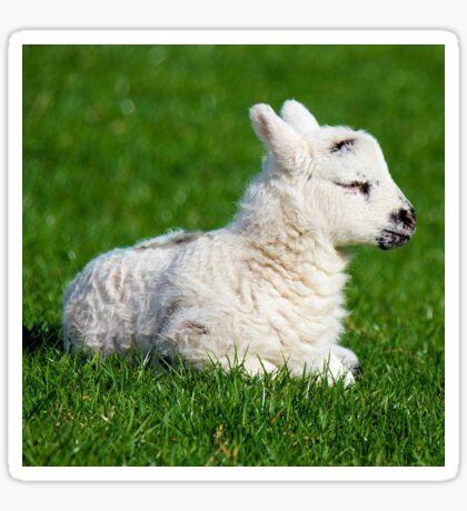 A Sleepy Newborn Lamb In A Field Sticker