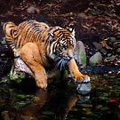 Sumatran Tiger by Sharon McDowall