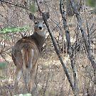 Oh Deer  by Coleen Gudbranson
