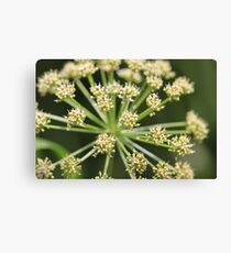 Elder flower  Canvas Print