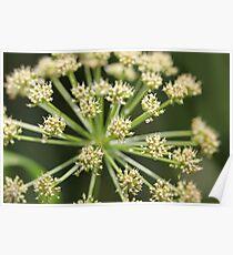 Elder flower  Poster