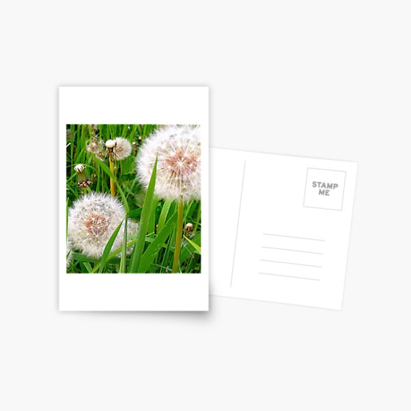 Dandelion clocks Postcard