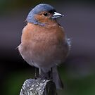 Chaffinch at Watendlath the lakes. by Delboy10