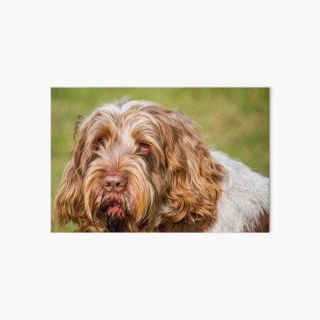 Soft and fluffy Spinone Art Board Print