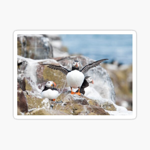 Puffin Photography  Sticker