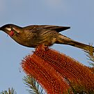 Red Wattlebird Anthochaera carunculata by David  Piko