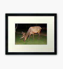 North American Elk Framed Print