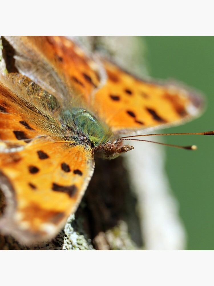 Comma Butterfly by mark-bugs-org