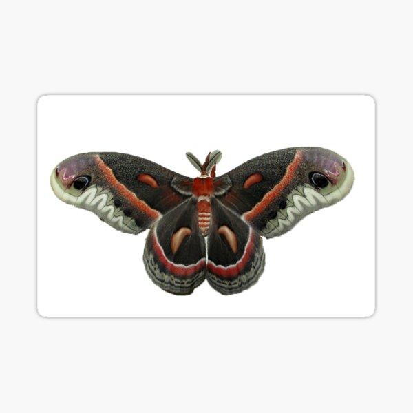 Cecropia Moth Sticker
