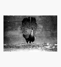 Black and White peacock  Photographic Print