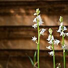 White Bluebells by Paul-M-W
