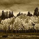 Aspen Trees, Rocky Mountain National Park by Daniel H Chui
