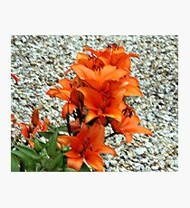 BRIGHT COLOURED LILLY . Photographic Print