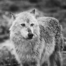 Wolf in B&W by Kim Barton
