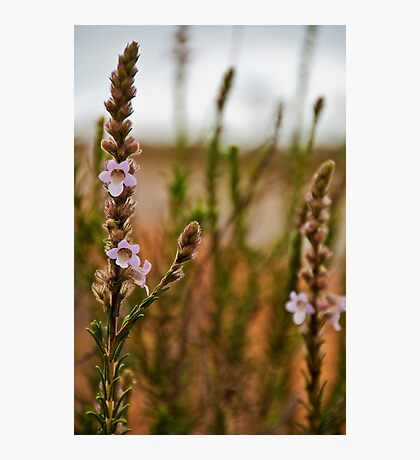 110619 Lesurue National Park Foxglove 2 Photographic Print