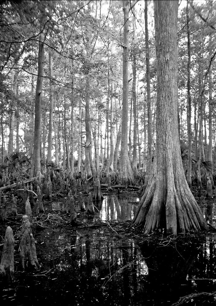 Cypress Swamp. Econlockhatchee River. by chris kusik