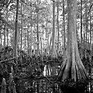 Cypress Swamp. Econlockhatchee River. by chris kusik