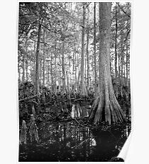 Cypress Swamp. Econlockhatchee River. Poster