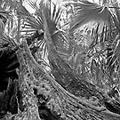 Fallen Tree. Highlands Hammock S.P. by chris kusik