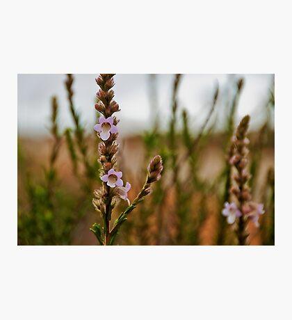 110619 Lesueur National Park Foxglove 1 Photographic Print