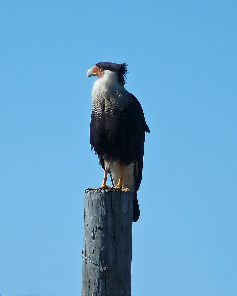 Crested Caracara  by chris kusik