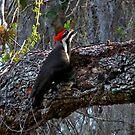 Pileated Woodpecker. Shingle Creek. by chris kusik