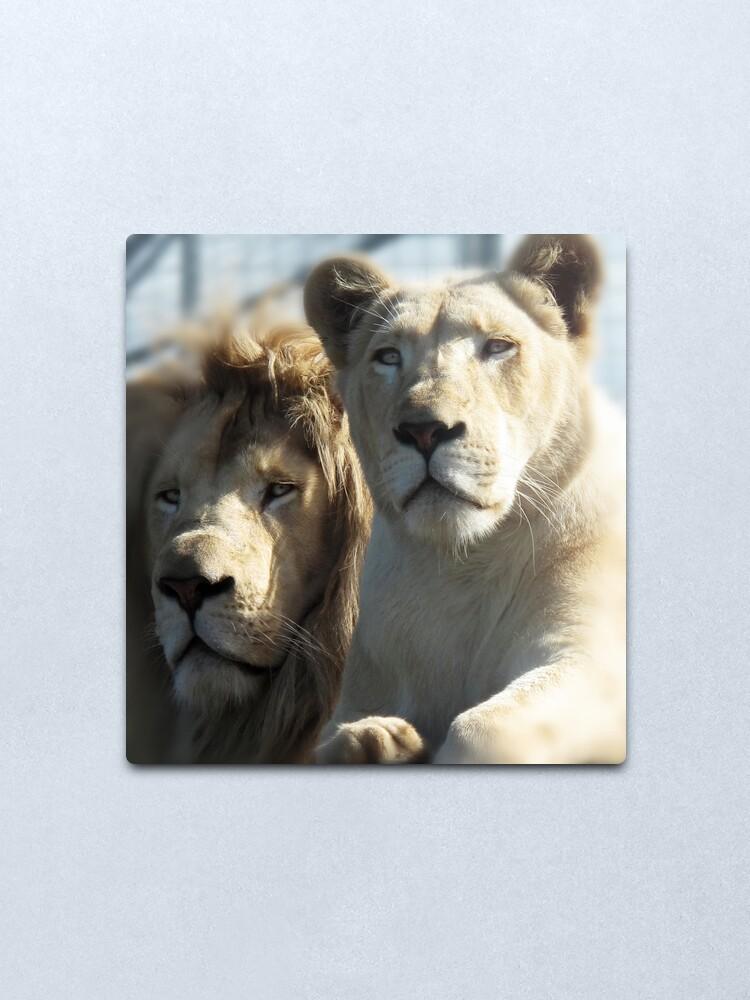 Alternate view of White Lions  Metal Print