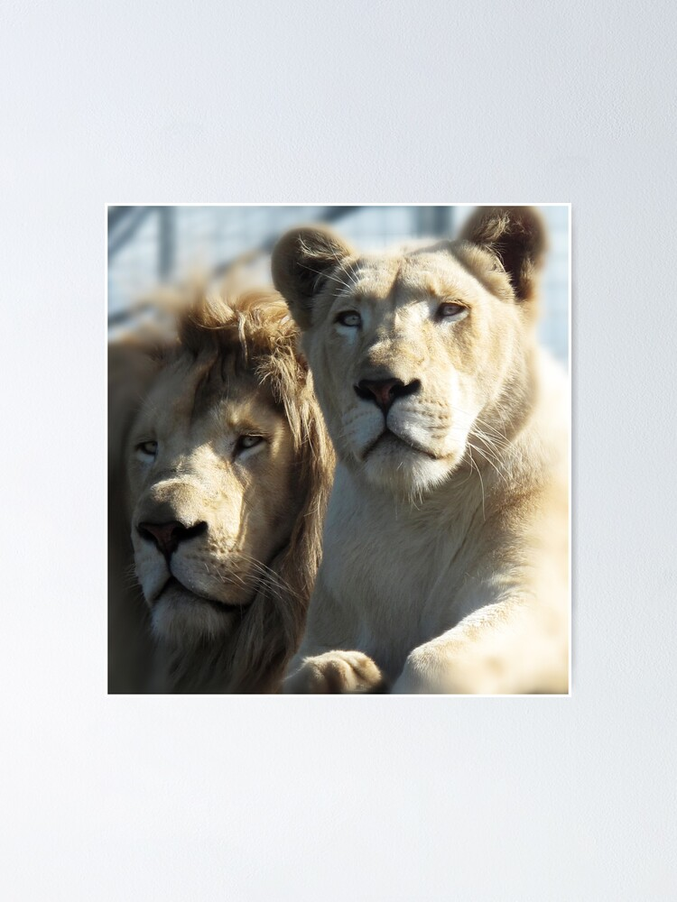 Alternate view of White Lions  Poster