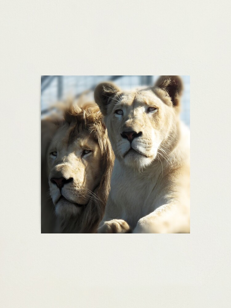 Alternate view of White Lions  Photographic Print