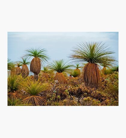 110619 Lesueur National Park Grasstrees 2 Photographic Print
