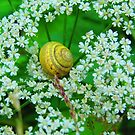 Queen of Snails Enthroned on Anne's Lace by M-EK