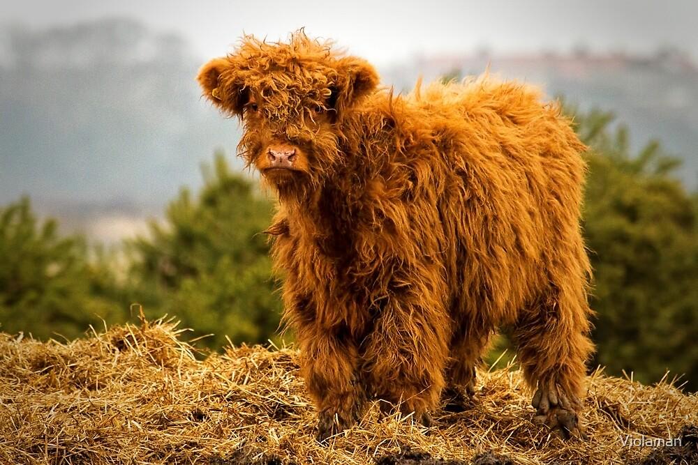 Highland calf by Violaman