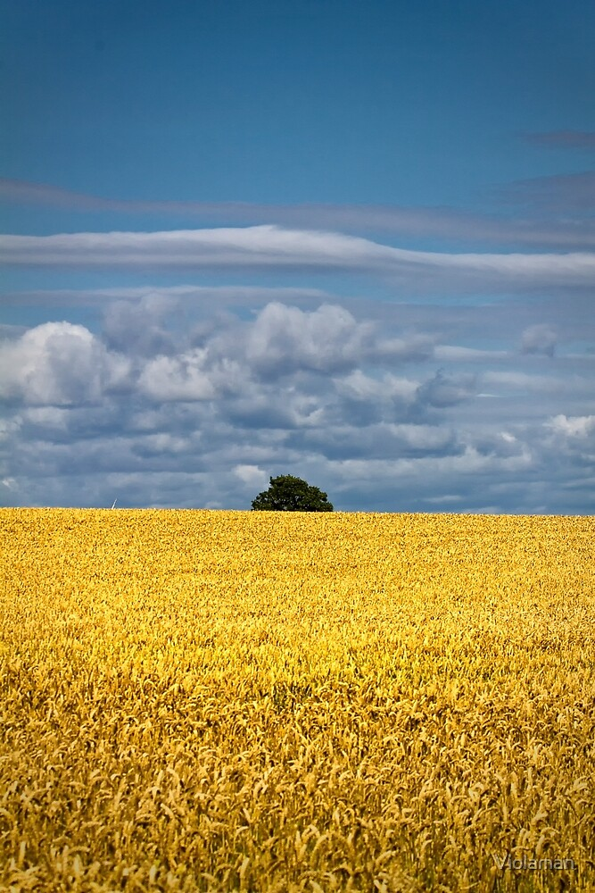 Golden harvest and blue sky by Violaman