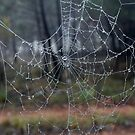 Spider Web and Dew Drops  by geoffgrattan