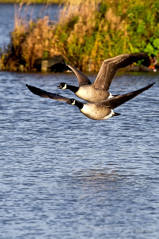 Canada Geese in flight by Violaman