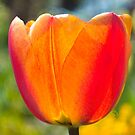 Tulip by Paul-M-W