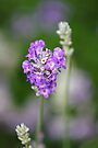 Memories of a Lavender Summer by Sally Green