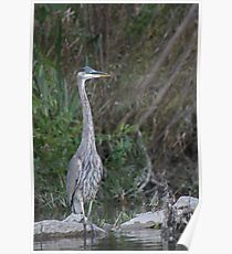 Great Blue Heron on the Milwaukee River Poster