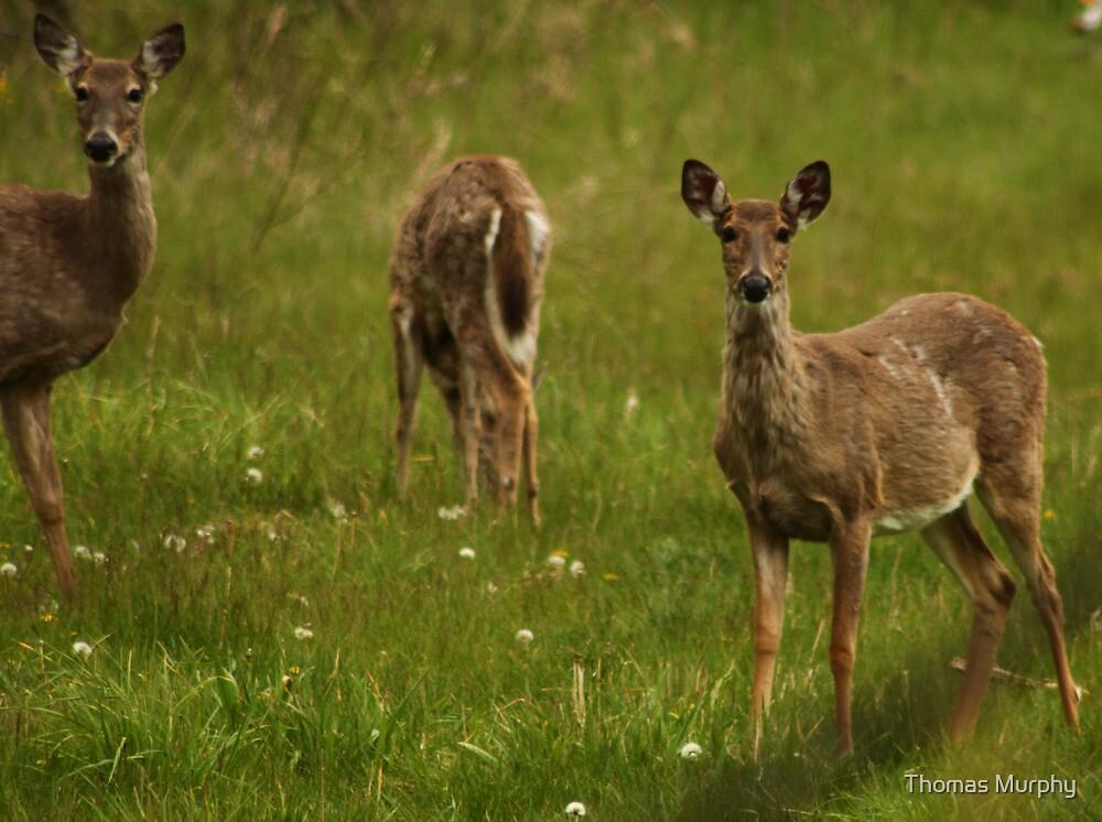 Three Deer by Thomas Murphy