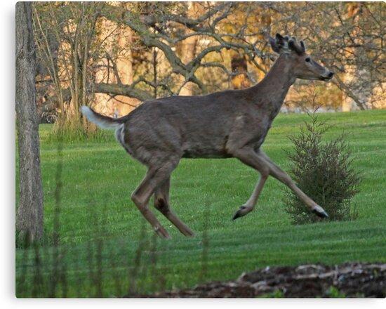 Running White-Tailed Buck by Thomas Murphy